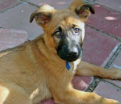 australian shepherd boxer mix zoe the shepherd mix puppies daily puppy