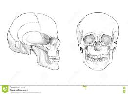 skull face and profile stock illustration image 77584492