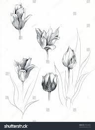 hand sketch tulip bulbs keukenhof gardens stock illustration