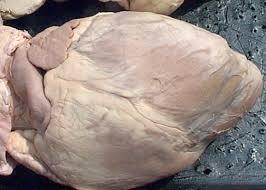 Anatomy Of The Heart Lab Anatomy Of The Sheep Heart
