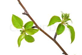 branch apple tree with buds isolated on white stock photo