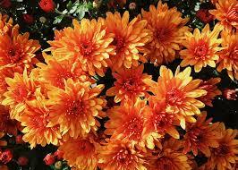 free photo mums flowers fall autumn free image on pixabay