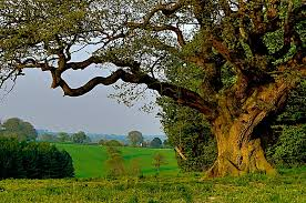 oak tree june 10th july 17th celtic astrology witches