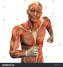 Human Anatomy Upper Body Muscle Man Upper Body Stock Illustration 51927520 Shutterstock