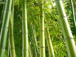 best 25 clumping bamboo ideas on potted bamboo