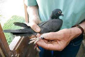 cuisine des pigeons voyageurs le pigeon voyageur un messager du ciel à tire d aile journal