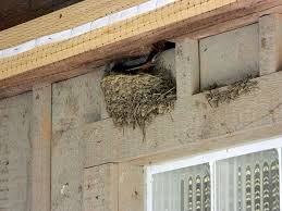 Barn Swallow Eggs A Fearless Mother Stays With Her Nest Seasons Flow
