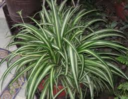 Plants In House Spider Plants Cats 4769