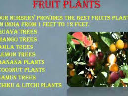 nursery trees suppliers in india sachin nursery