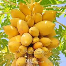 papaya tree suppliers best papaya tree manufacturers china