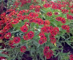 helenium hybrida mariachi u0027siesta u0027 pp 25 969 u2013 plants nouveau