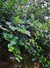 ficus pumila wonder creeper or creeping horror half a pound of