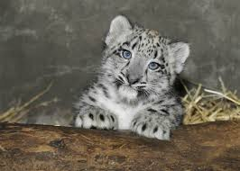 baby snow leopard cutest paw