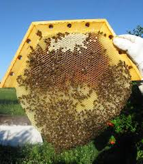 Harvesting Honey From A Top Bar Hive Backyardhive Com Cathedral Gallery A Pulled Honeycomb From The
