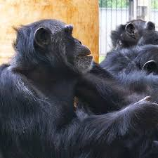 chimpanzees lend each other a helping hand cosmos