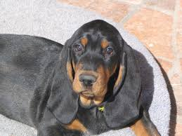 bluetick coonhound mix sale black and tan coonhound puppies funny puppy u0026 dog pictures