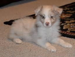 australian shepherd 13 weeks australian shepherd puppies available in hoobly classifieds