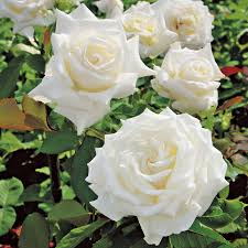 roses for sale pope paul ii hybrid tea bareroot white for sale at jp