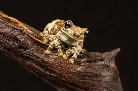 my favorite frogs of the tropics britannica com