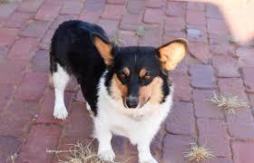 afghan hound poodle cross top 15 mock faked poodle cross breeds mix breeds