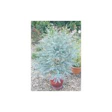 eucalyptus azura small tree blue foliage for gardens