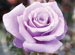 purple roses for sale sterling silver roses plants