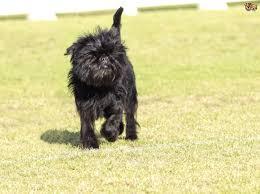 affenpinscher breeders canada affenpinscher dog breed information buying advice photos and