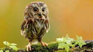 owl baby seating on tree branch hd images hd wallpapers