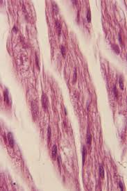 What Organelles Are Found In Epithelial Cells What Organelle Must Be Present In Large Numbers In Muscle Cells