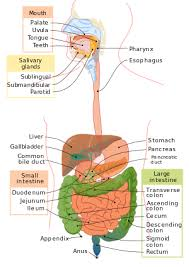 Outline The Anatomy And Physiology Of The Human Body Human Physiology The Gastrointestinal System Wikibooks Open