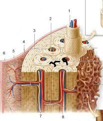 15 best bone anatomy images on pinterest skeletal system