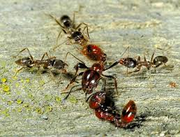 common pesticides change odds in ant fights science news
