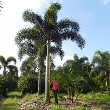 foxtail palm wodyetia bifurcata palmco wholesale palms florida