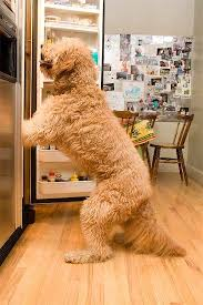 goldendoodle puppy treats bad golden doodle lookin for a treat poodles