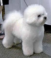bichon frise fluffy 159 best bichon frise images on pinterest bichons puppies and