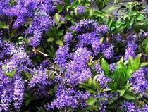 Tropical Climbing Plant - online plant nursery darwin suppliers of tropical u0026 native plants