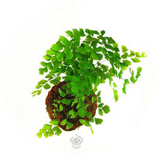 Plant Home Decor Fern Moss Ball Indoor Fern Hanging Globe Plant Maidenhair
