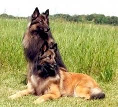 belgian malinois jet black belgian tervuren dog breed information puppies u0026 pictures