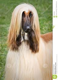afghan hound long haired dogs afghan hound royalty free stock image image 15848786