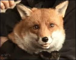adorable clip of a fox