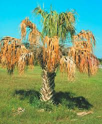 diseases and disorders of ornamental palms