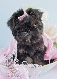 affenpinscher brussels griffon rescue brussels griffon puppies for sale by teacups puppies u0026 boutique