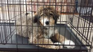 crate training puppy training basics archives woodland kennel