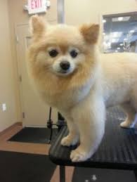 summer haircut pomeranian ideas about how to cut a pomeranians hair cute hairstyles for girls