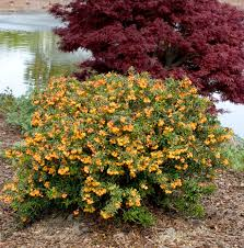 dwarf coral hedge barberry monrovia dwarf coral hedge barberry