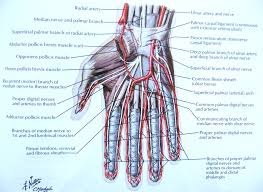 Human Anatomy And Physiology Notes Notes On Anatomy And Physiology The Hand And The Tiger U0027s Mouth