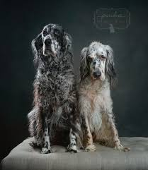 types of setter dog breeds a type a color or a marking