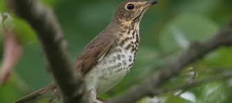 north carolina mountain birds swainson u0027s thrush