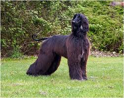 afghan hound breeders europe the irish setters u0026 afghan hounds of thendara