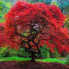 25 beautiful japanese tree ideas on acer acer